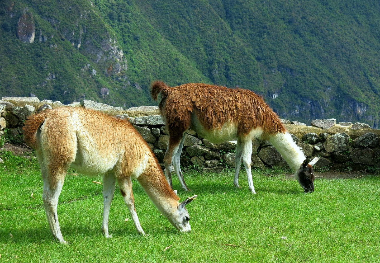 Alpacas mowing the grass at Machu Picchu, Peru.
